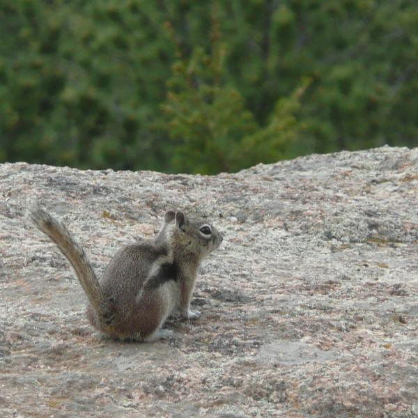 You can tell golden-mantled ground squirrels (Callospermophilus lateralis) like this one apart from chipmunks because chipmunks have stripes on their cheeks, while ground squirrels don't. (Credit: McCain Lab)