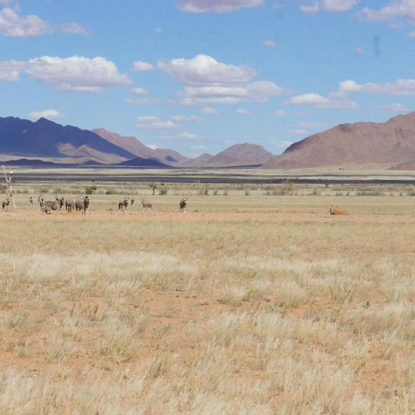 Zebras and oryx