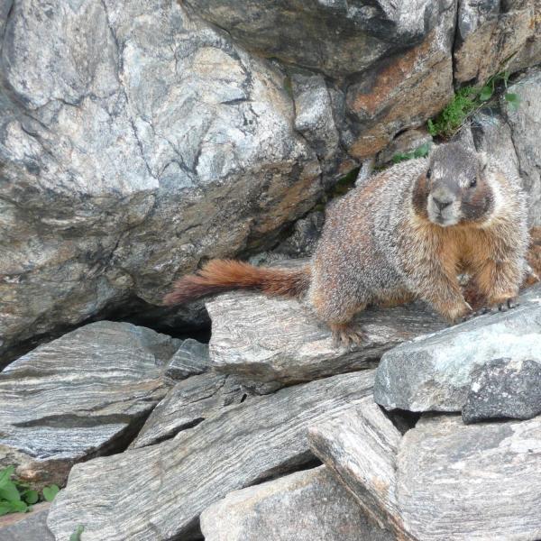 A yellow-bellied marmot (Marmota flaviventris) greets CU Boulder researchers. (Credit: McCain Lab)