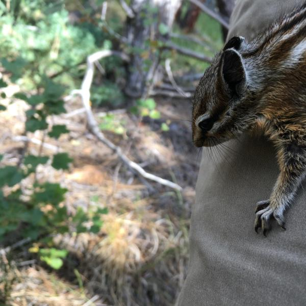 As its name suggests, the least chipmunk (Tamias minimus) is the smallest known chipmunk. (Credit: McCain Lab)