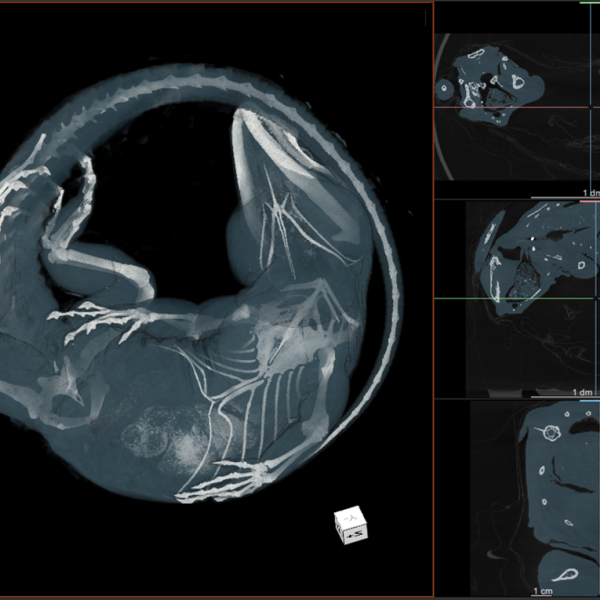 CT scan images showing the internal anatomy of an iguana. (Credit: UCM 11735 Ctenosaura pectinata)