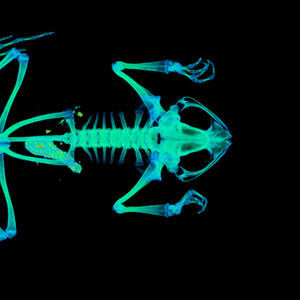 CT scan of a Túngara frog. (Credit: UCM 41333 Engystomops pustulosus)