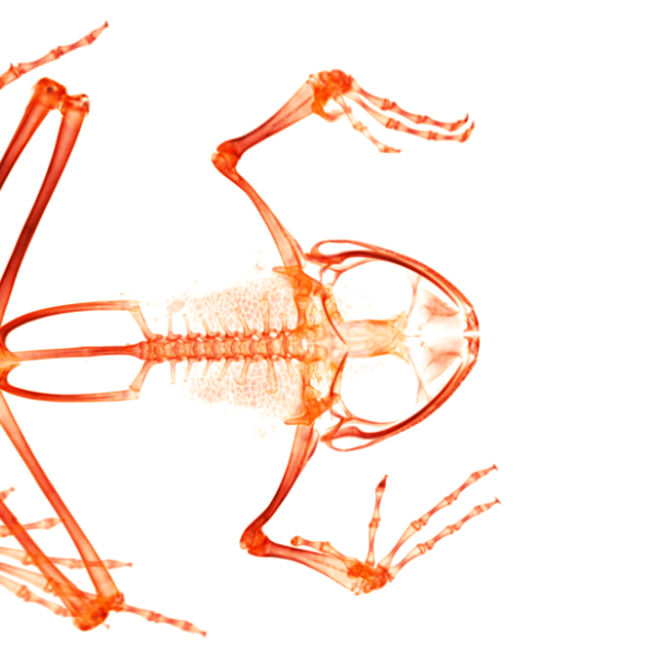 CT scan of a Tarahumara barking frog (top view). (Credit: UCM 67231 Craugastor tarahumarensis)