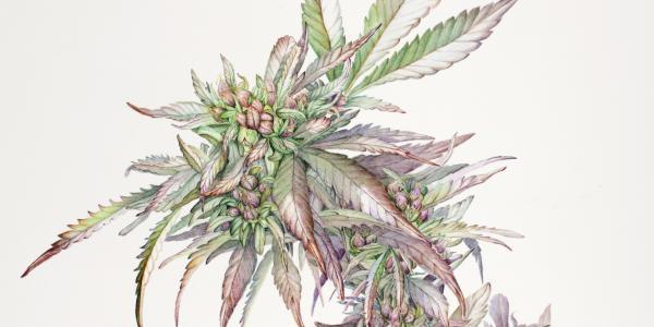 An illustration of a cannabis plant