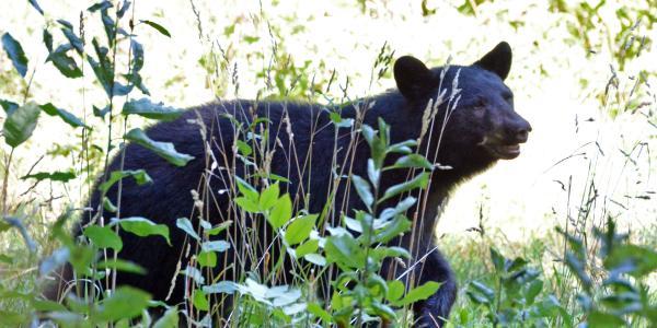 A bear seen earlier on campus