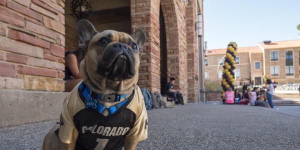 A French bulldog in Buffs jersey near the UMC fountain
