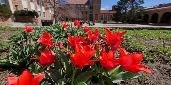 An image of flowers on the CU Boulder campus
