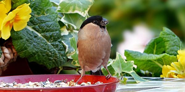 A bird chows on bird food from a red dish.