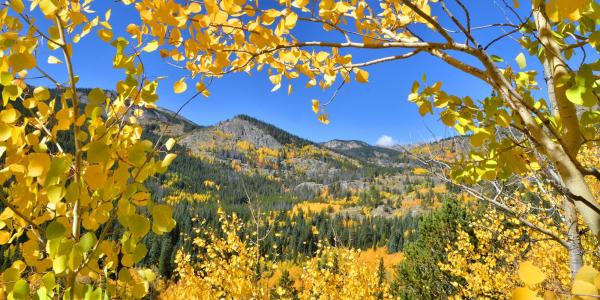 Golden Aspen trees frame mountains