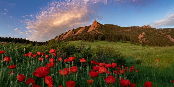 red poppies with Flatirons in the background