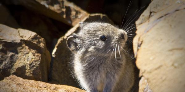 collared pika shown in a rocky habitat