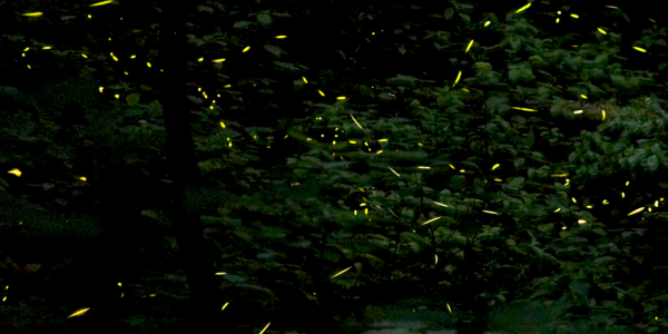 Stacked photo of fireflies flashing in a forest.