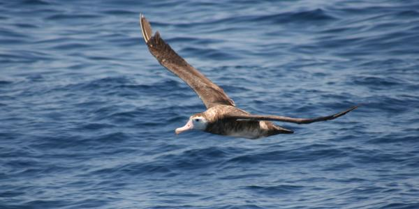 An albatross in flight