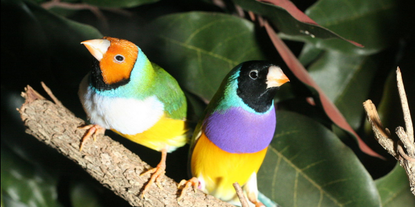 Two Gouldian finches rest on a branch
