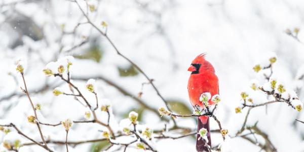 A cardinal sitting on a tree branch in snow