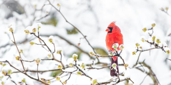 A cardinal sitting on a tree branch in the snow