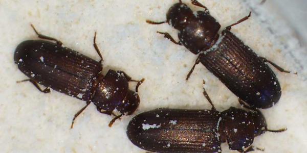 Flour beetles
