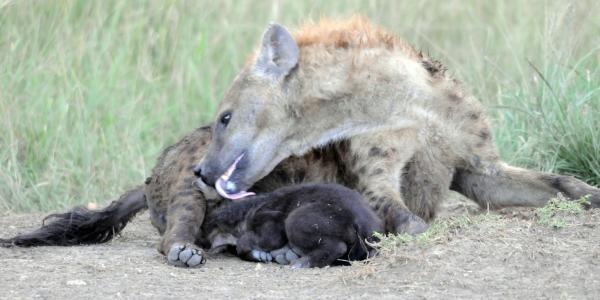 Hyena licking her cub