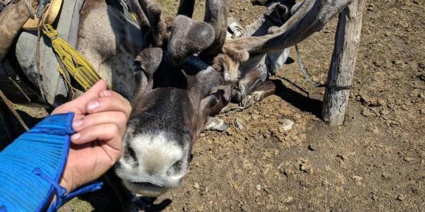 Reindeer nuzzling hand