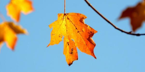 orange fall leaves on a tree