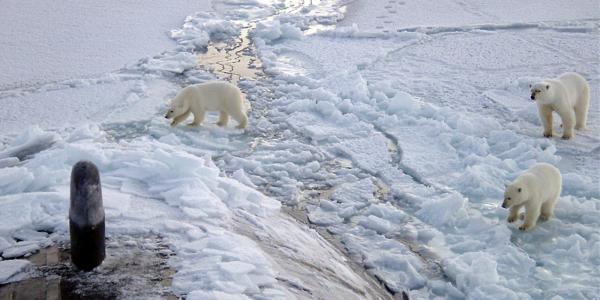 Three polar bears near the North Pole