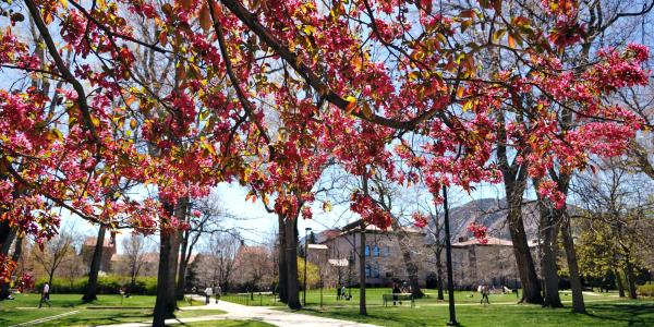 Flowers begin to bud on a tree on the CU Boulder campus