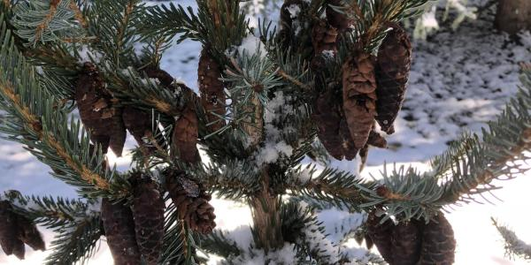 Bruns Serbian spruce is the latest addition to the species of trees on campus
