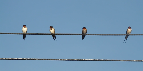 Swallows on a power line