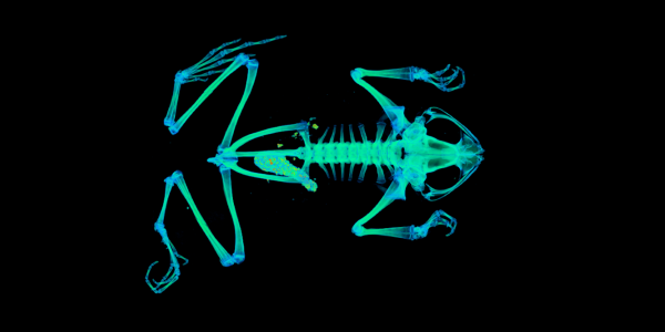 CT scan of a frog in vivid colors.