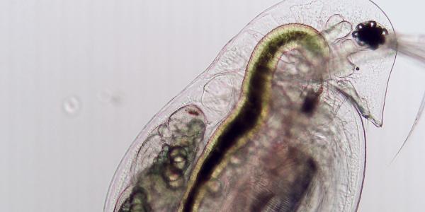 zooplankton (Daphnia dentifera)
