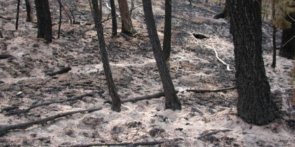 Ash and black trunks remain after the Hayman Fire.