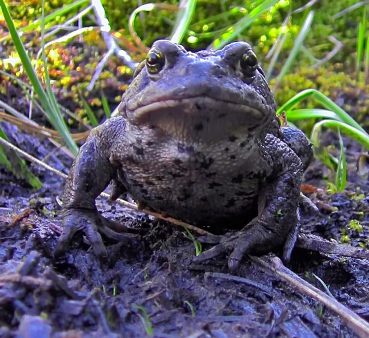 an adult boreal toad
