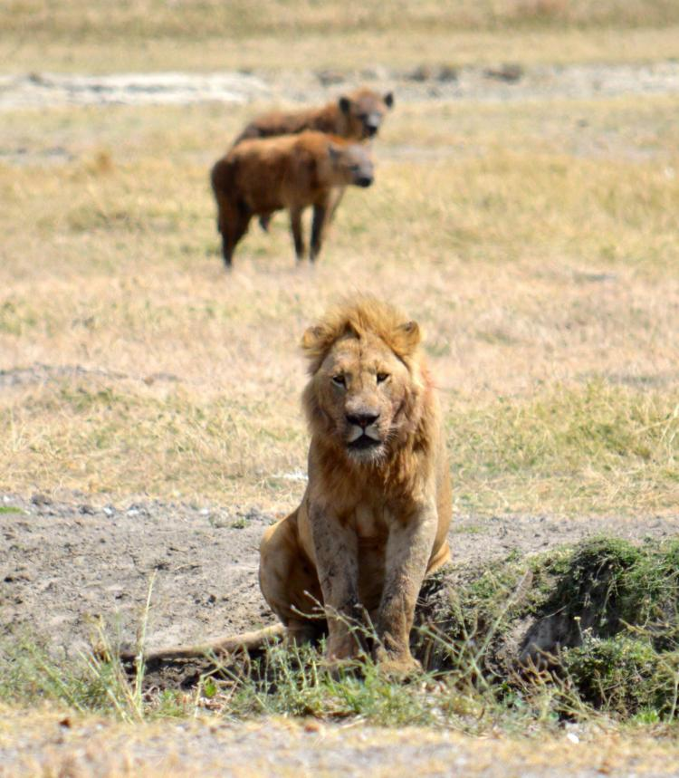 Lion and hyenas in Ngorongoro Crater, Tanzania