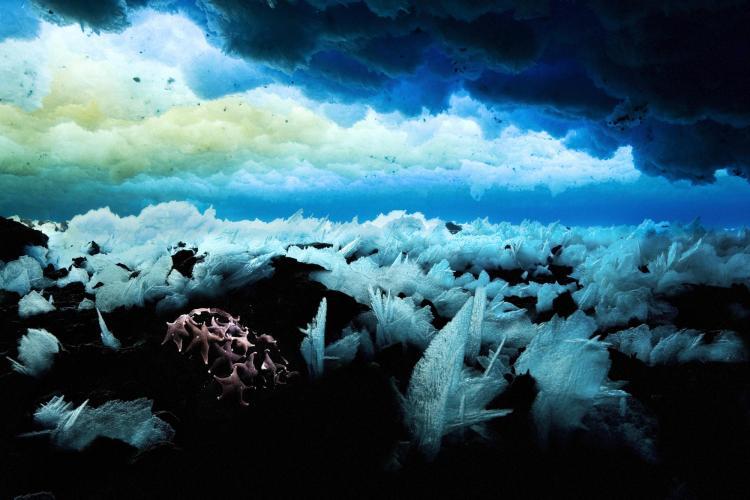 Sea stars grow under Antarctic ice