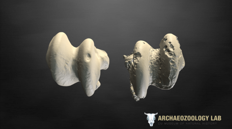 Screenshot of 3D scan of two horse ankle bones