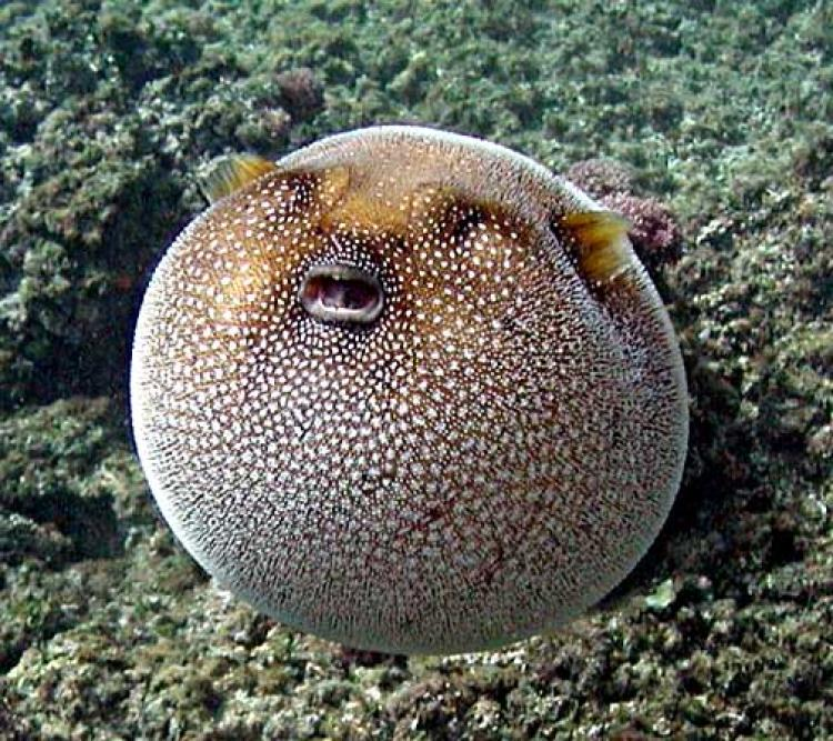 A guineafowl puffer inflates its body.