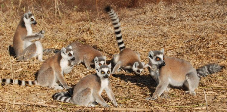 A group of ring-tailed lemurs
