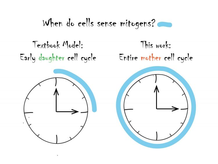 Cell cycle timing