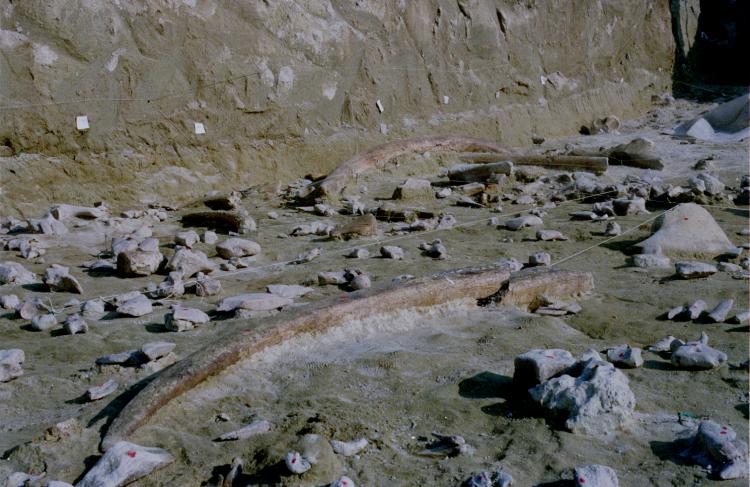 Colmillo de elefante en un sitio arqueológico