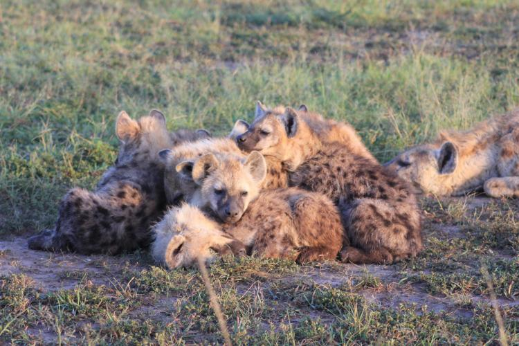 Hyena cubs together