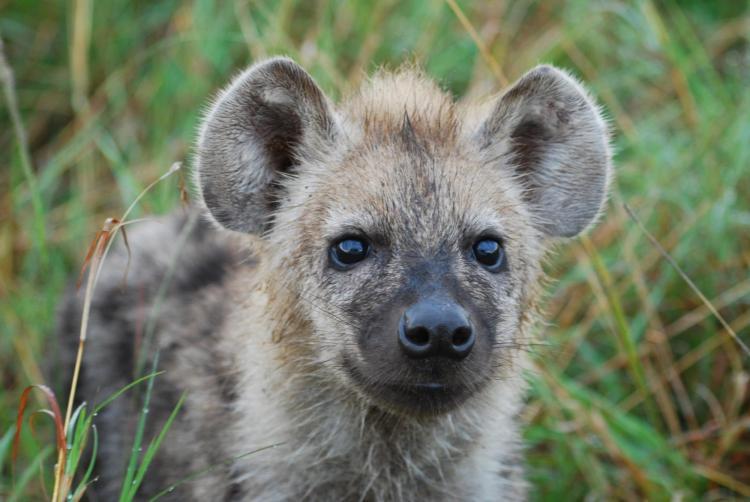 Hyena looking up