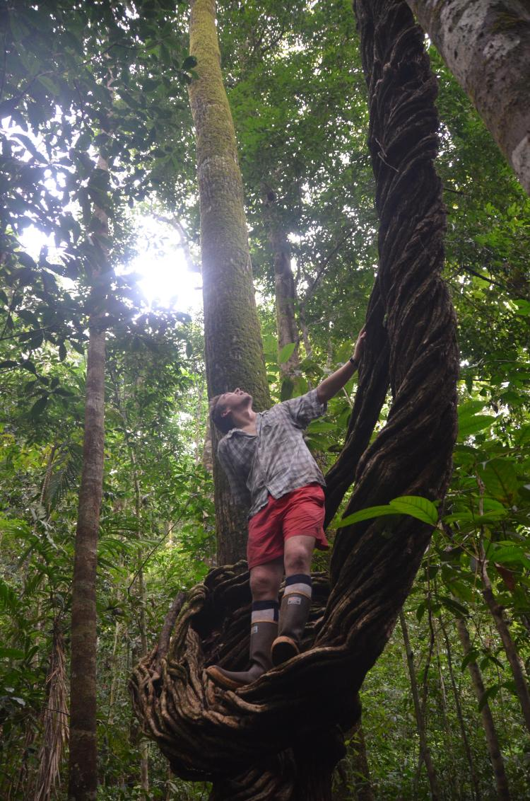 Phil Taylor climbing a giant tree