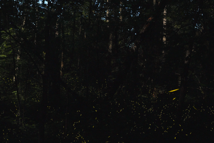 Time-lapse image of fireflies flashing in a forest.