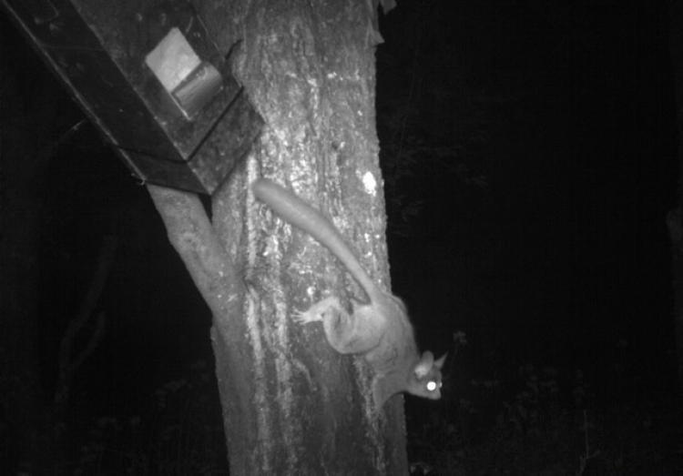 Galago moholi climbs tree
