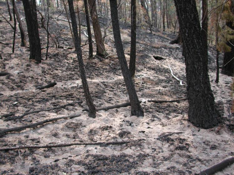 dead and blackened trees after the hayman fire