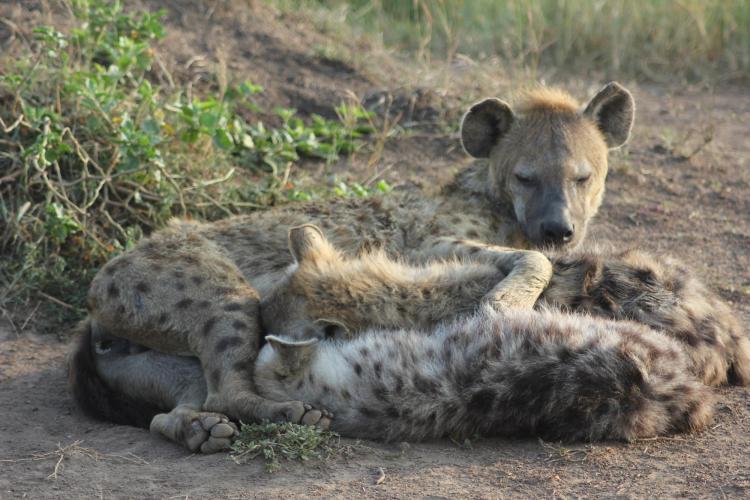 Hyenas cuddling