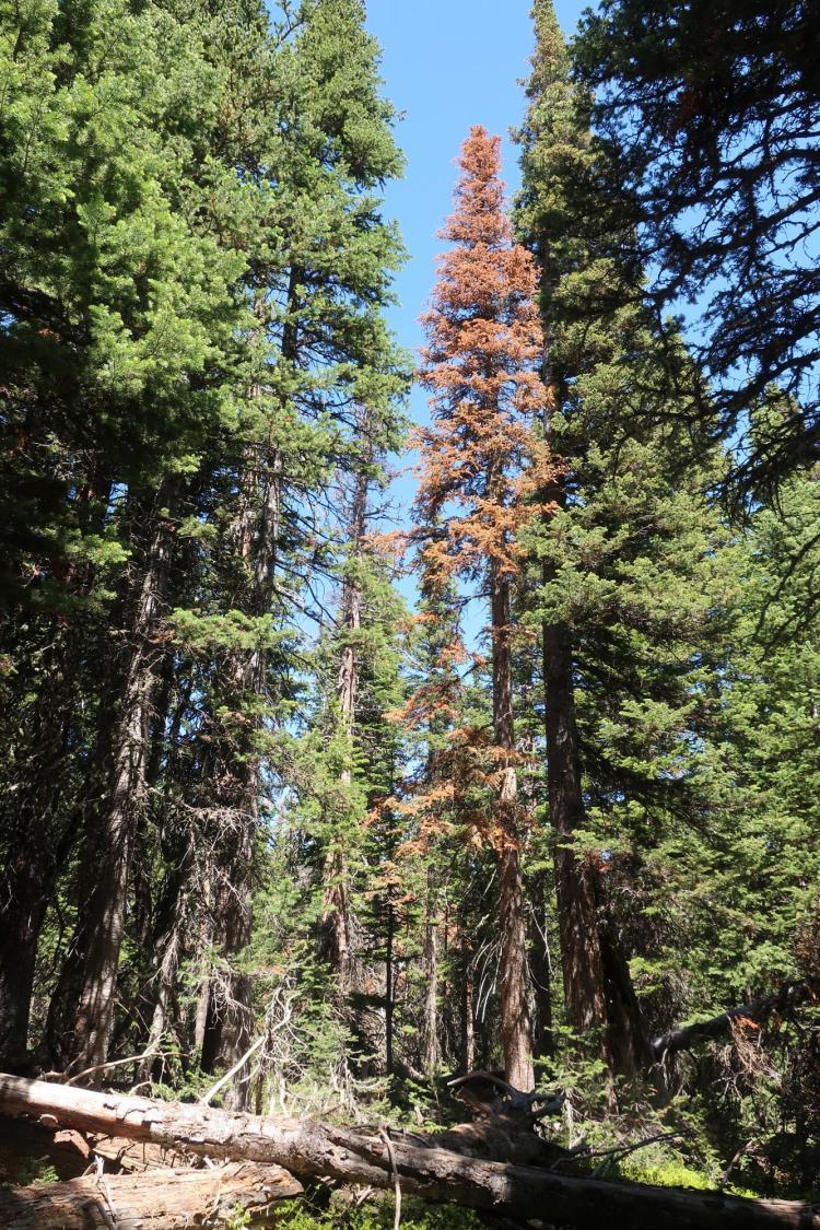 A dead tree in Colorado subalpine forest