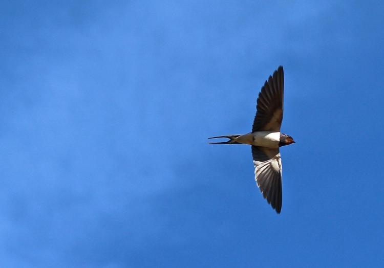 Barn swallow in sky