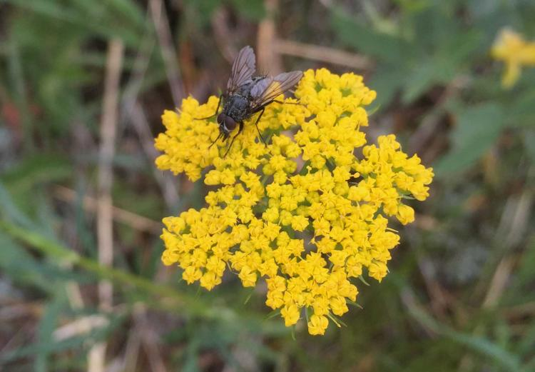 A fly visiting the flowers of alpine false spring parsley