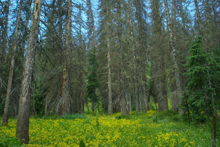 A stand of mature dead trees in the southern Rocky mountains.